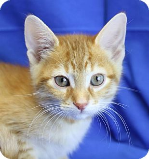Domestic Shorthair Kitten for adoption in Winston-Salem, North Carolina - Carlan