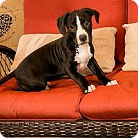 Adopt A Pet :: BJ - Inglewood, CA
