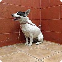 Adopt A Pet :: Scrapy - Lomita, CA
