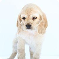 Adopt A Pet :: Alice in Wonderland - Auburn, CA