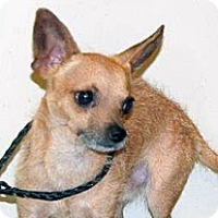 Chihuahua/Terrier (Unknown Type, Small) Mix Dog for adoption in Wildomar, California - Maxwell