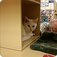 Adopt A Pet :: Snowball (in CT) - Manchester, CT