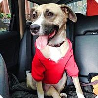 German Shepherd Dog Mix Dog for adoption in Syracuse area, New York - Gunther Shy Shep