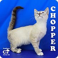 Adopt A Pet :: Chopper - Carencro, LA