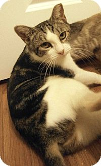Domestic Shorthair Cat for adoption in Cleveland, Ohio - Espresso