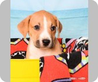 Boxer/Labrador Retriever Mix Puppy for adoption in Pittsboro, North Carolina - Lexi