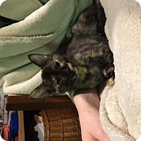 Domestic Shorthair Cat for adoption in Vacaville, California - Tortie
