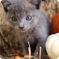 Domestic Shorthair Kitten for adoption in Dallas, Texas - SAGE