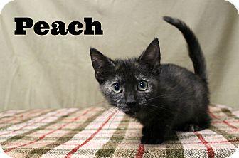 Domestic Shorthair Kitten for adoption in Melbourne, Kentucky - Peach