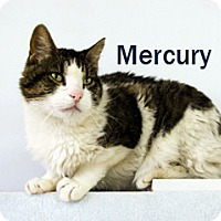 Adopt A Pet :: Mercury - Hamilton, MT