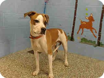 Labrador Retriever Mix Dog for adoption in San Bernardino, California - URGENT on 11/9 SAN BERNARDINO