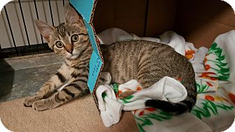 Domestic Shorthair Cat for adoption in Stahlstown, Pennsylvania - Hope