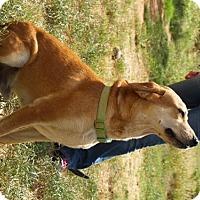 Labrador Retriever Dog for adoption in Olympia, Washington - Oscar W