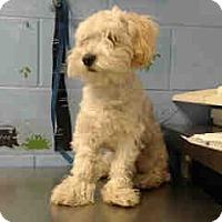 Miniature Poodle Puppy for adoption in San Bernardino, California - URGENT ON 12/6  San Bernardino