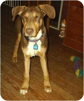 Doberman Pinscher/Coonhound Mix Dog for adoption in cedar grove, Indiana - Lenny