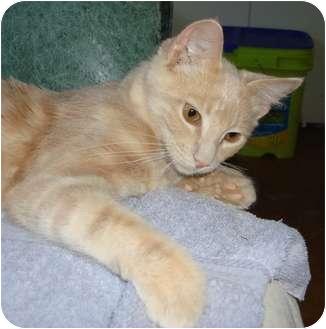 American Shorthair Kitten for adoption in Lake Charles, Louisiana - Garfield