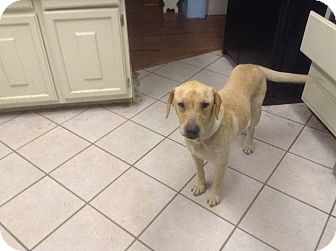 Golden Retriever/Labrador Retriever Mix Dog for adoption in Largo, Florida - Zabrina