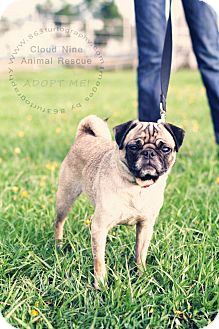 Pug Mix Dog for adoption in Bartow, Florida - Nala