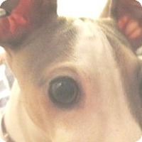 Adopt A Pet :: Bowie - Croton, NY
