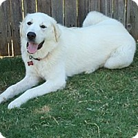 Adopt A Pet :: Great Pyrenees - Oklahoma City, OK