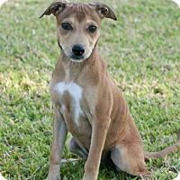 Adopt A Pet :: Yumi - Norwalk, CT