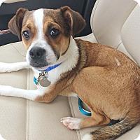 Adopt A Pet :: Scooter - Homewood, AL