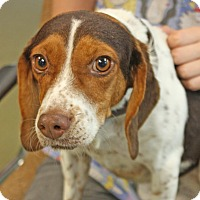 Adopt A Pet :: Lady Godiva - Harrisonburg, VA