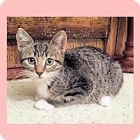 Adopt A Pet :: Kitten - Courtney - Euless, TX