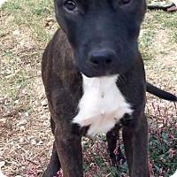 Boxer Puppy for adoption in Boston, Massachusetts - Paloma