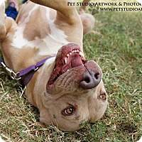 American Pit Bull Terrier Mix Dog for adoption in Bertram, Texas - Bonnie Blue