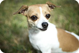 Chihuahua Mix Dog for adoption in Portland, Oregon - Bobby