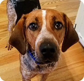 Foxhound/Hound (Unknown Type) Mix Dog for adoption in Chicago, Illinois - Daisy*Gentle!*