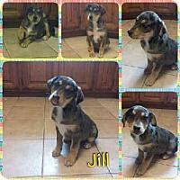 Adopt A Pet :: Jill meet me 1/20 - Manchester, CT