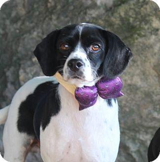 Beagle/Spaniel (Unknown Type) Mix Dog for adoption in Dalton, Georgia - Rebel
