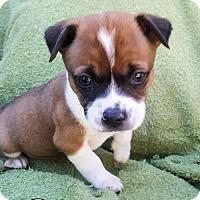 Adopt A Pet :: Grumpy - Williston Park, NY
