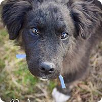 Adopt A Pet :: Dodger - DFW, TX