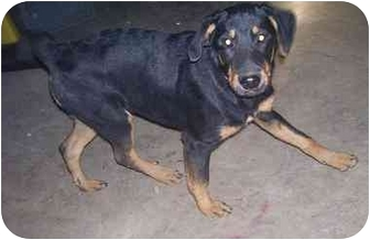 Rottweiler Puppy for adoption in Chandler, Indiana - Kaz