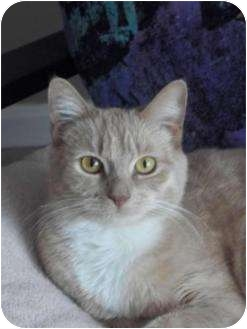 Domestic Shorthair Cat for adoption in crofton, Maryland - Sabrina