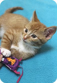 Domestic Shorthair Kitten for adoption in Chicago, Illinois - Shamrock