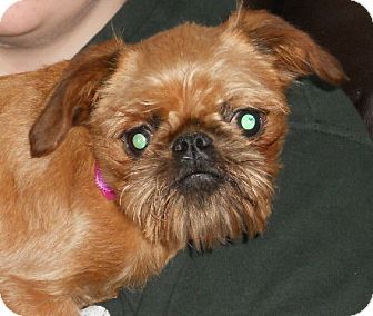 Brussels Griffon Dog for adoption in batlett, Illinois - Poppi