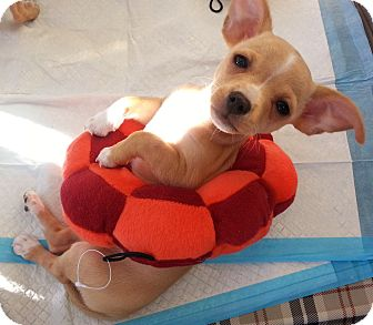 Chihuahua Mix Puppy for adoption in San Diego, California - Mary