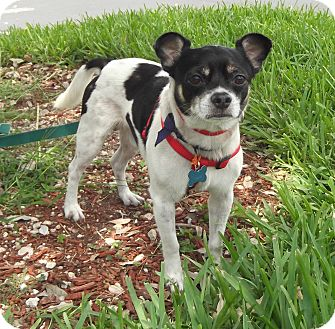 boston terrier jack russell pumpkin adopted dog key biscayne fl jack russell 5273