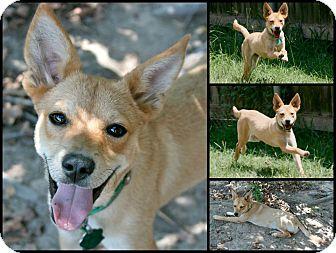 Labrador Retriever Mix Puppy for adoption in Lufkin, Texas - Polly