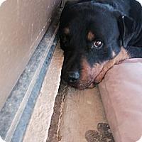 Adopt A Pet :: Amigo - Gilbert, AZ