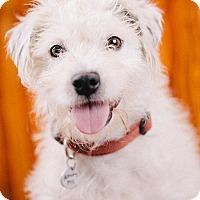 Adopt A Pet :: A.J - Portland, OR