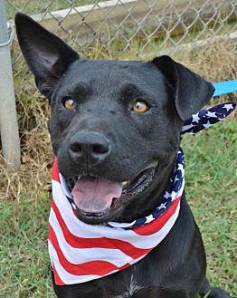 Labrador Retriever/Terrier (Unknown Type, Medium) Mix Dog for adoption in Liverpool, Texas - ROCCO
