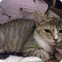 Domestic Shorthair Cat for adoption in Queens, New York - Cinnamon