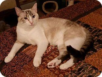 Siamese Cat for adoption in Phoenix, Arizona - Lily