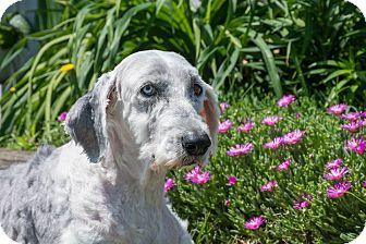 Old English Sheepdog Mix Dog for adoption in Seneca, South Carolina - Katie $125