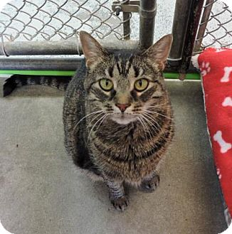 Domestic Shorthair Cat for adoption in Greenwood, South Carolina - Peaches
